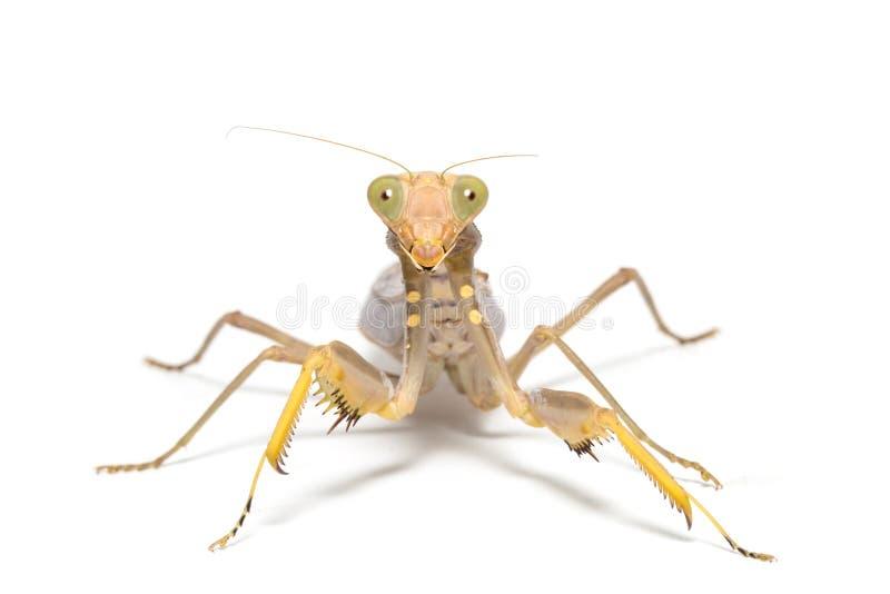 religiosa mantis моля стоковое изображение rf