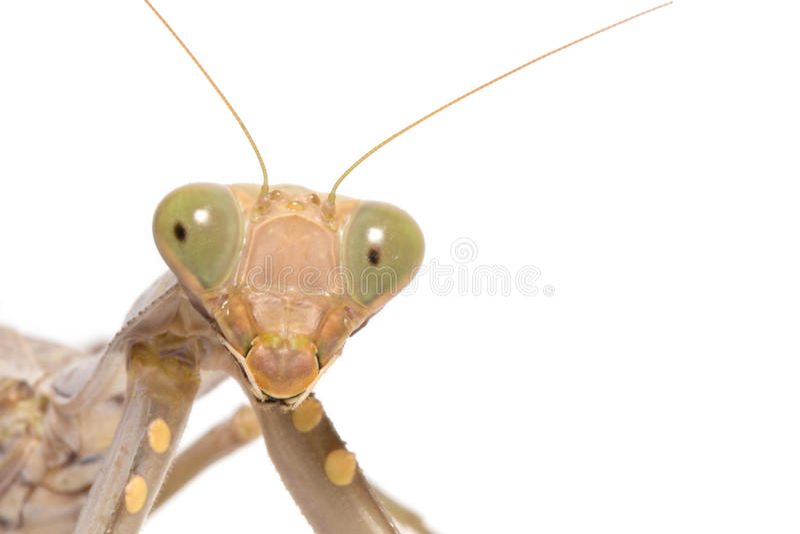 religiosa mantis моля стоковая фотография rf