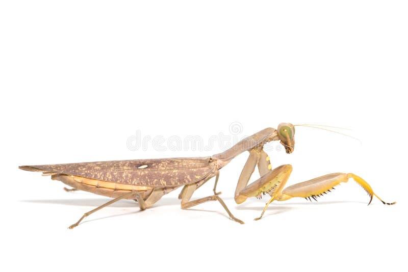 religiosa mantis моля стоковые фото