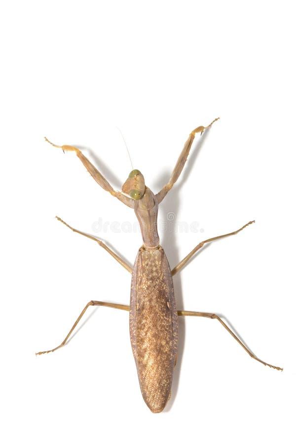religiosa mantis моля стоковая фотография