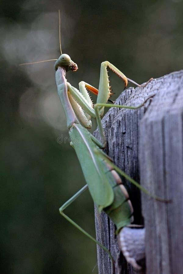 religiosa mantis στοκ φωτογραφία με δικαίωμα ελεύθερης χρήσης