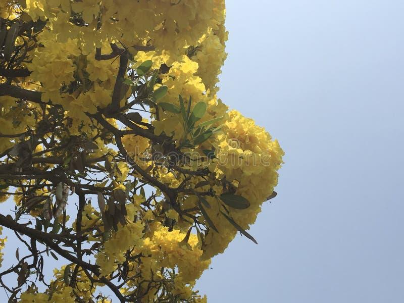 Religiosum giallo tropicale di Cochlospermum del fiore dell'albero della tazza del fiore o del burro del cotone con chiaro cielo  fotografia stock