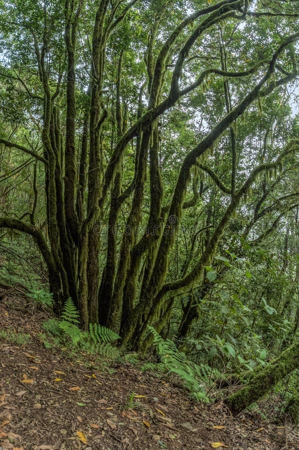 Reliktowy las na skłonach pasmo górskie Garajonay park narodowy Gigantyczni bobki i Drzewny wrzos wzdłuż przesmyka fotografia stock