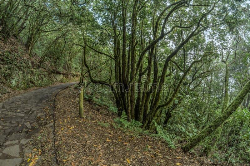 Reliktowy las na skłonach pasmo górskie Garajonay park narodowy Gigantyczni bobki i Drzewny wrzos wzdłuż przesmyka zdjęcia stock