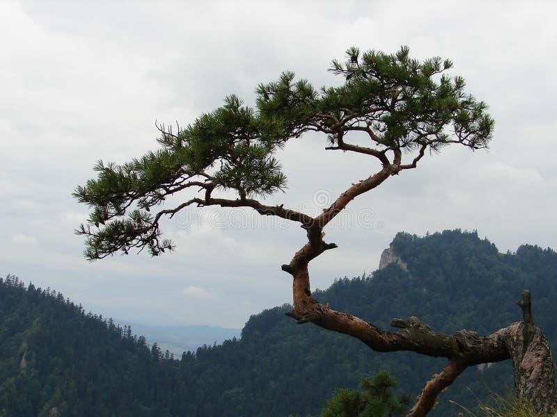 Relique 500 années de pin dans Sokolica images libres de droits