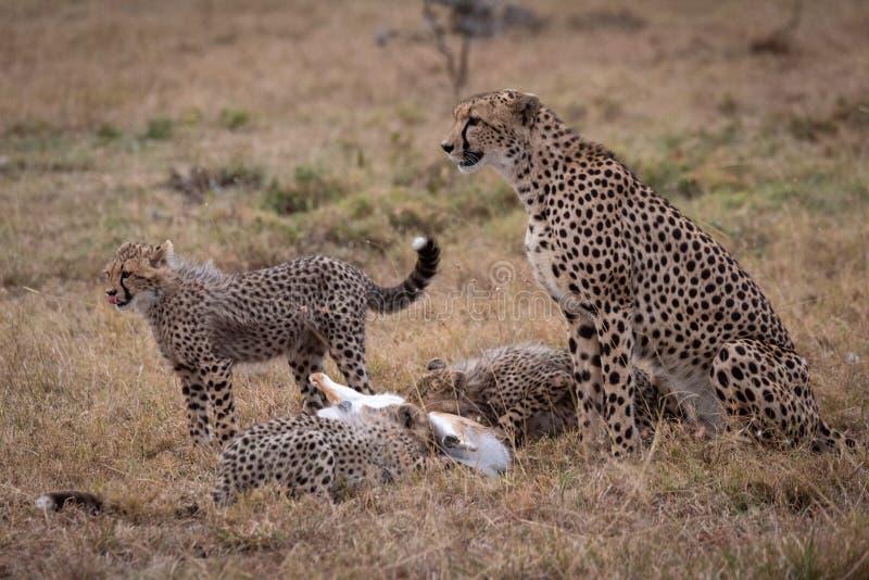 Relojes del guepardo como los cachorros comen la gacela de THOMSON fotos de archivo libres de regalías