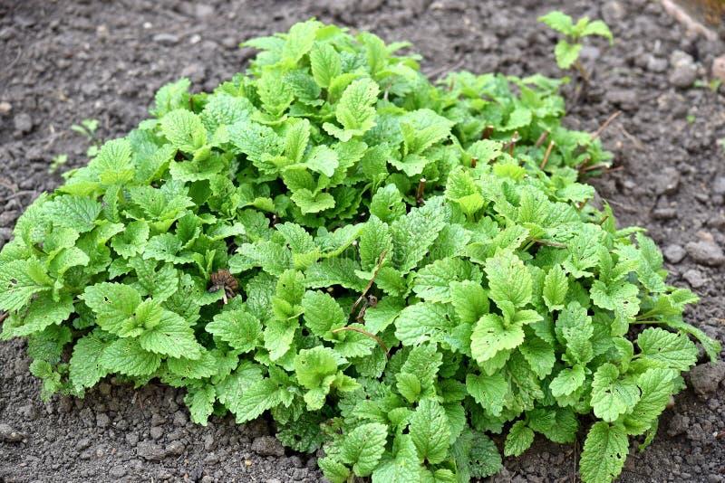 Remède à la maison de jardinage d'herbes de maison de baume de citron photos stock