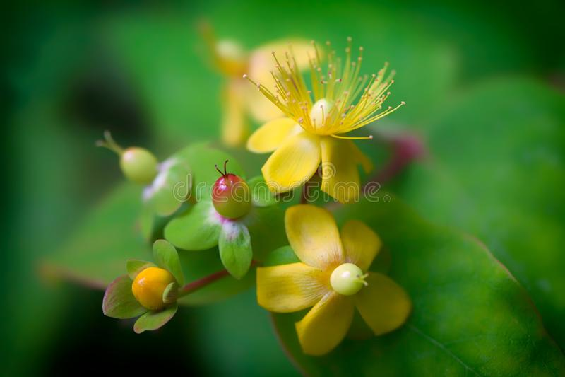 Remédio natural da planta da saúde mental Flor do Wort de St Johns Close-up macio seletivo do foco fotos de stock royalty free