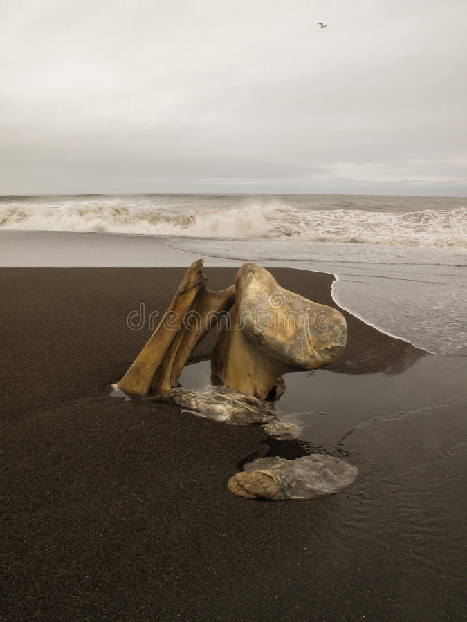 Remains of a bowhead whale in Barrow Alaska. royalty free stock photography