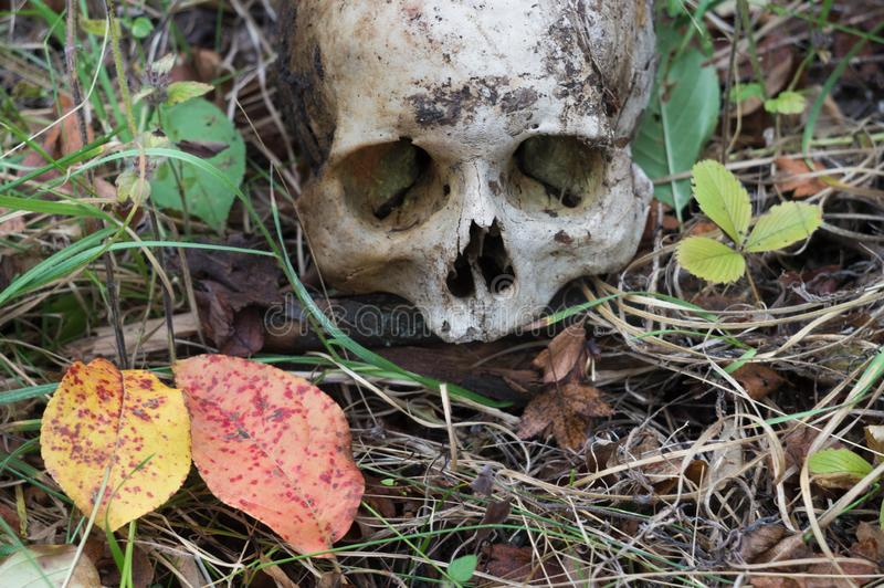 The remains of medieval warrior on the battlefield in autumn. Real human skull on nature grass field. Gothic background. The remains of medieval warrior on the royalty free stock image