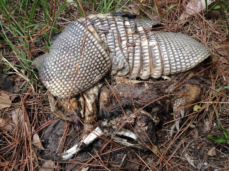 Remains of Nine-banded Armadillo (Dasypus Novemcinctus) Lying on Ground. stock photography