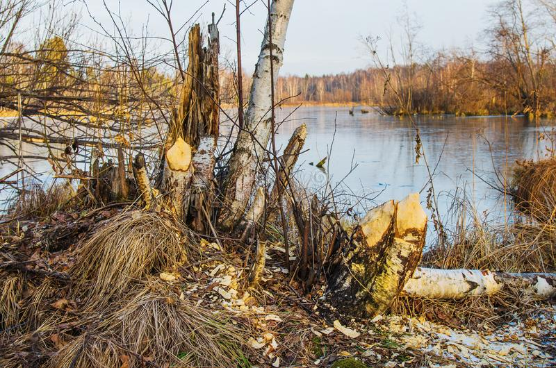 The place is visited by beavers. The remains of the trees that the beavers piled up on the shore of the lake stock images
