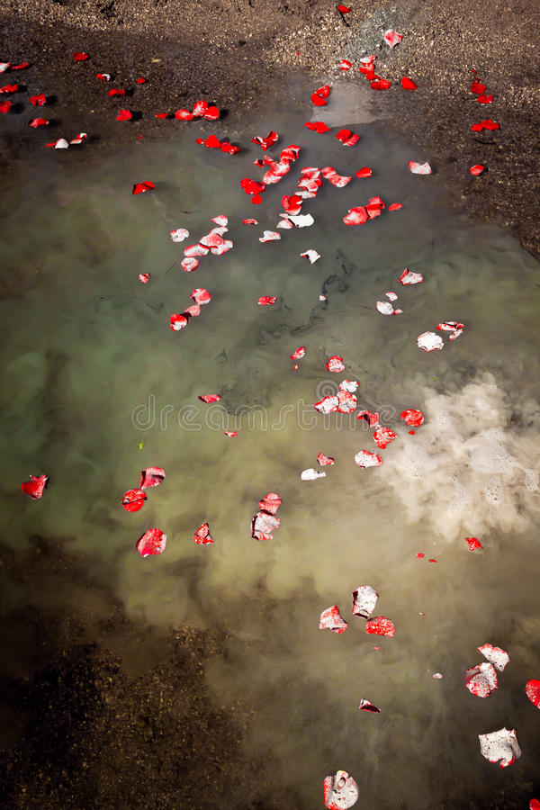 Rembering A Loved One. The ashes of a loved one float on a lake at the edge of a shore. The ashes are mixed with scattered rose petals royalty free stock images