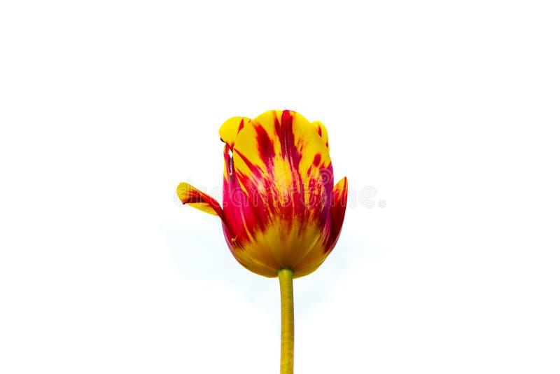 Rembrandt Tulip Helmar isolata su fondo bianco, concentrato Questo bello tulipano di Triumph è una miscela stupefacente della pri fotografia stock