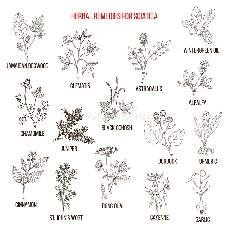 Remedios herbarios para la ciática stock de ilustración