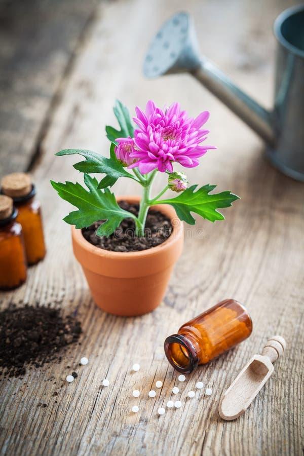 Remedios homeopáticos para la planta y las cosechas, flor del crisantemo en pote imagen de archivo
