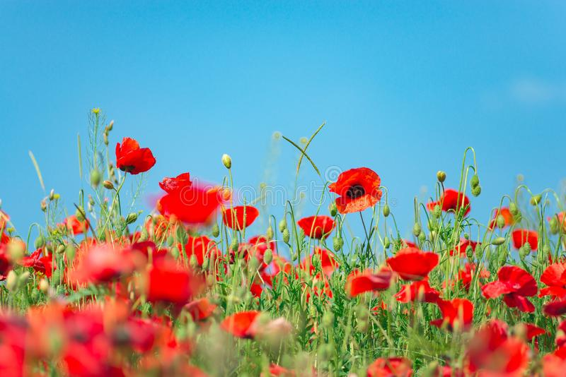 Remembrance day, Anzac Day, serenity. Opium poppy, botanical plant, ecology. Poppy flower field, harvesting. Summer and spring, la royalty free stock photos