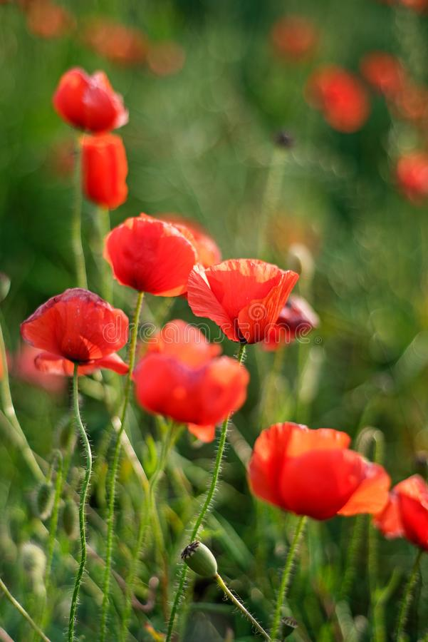 Remembrance day, Anzac Day, serenity Opium poppy, botanical plant, ecology. Poppy flower field, harvesting. Summer and spring, royalty free stock photography