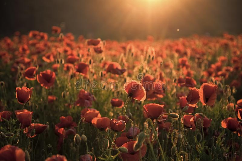 The remembrance poppy - poppy appeal. stock photography