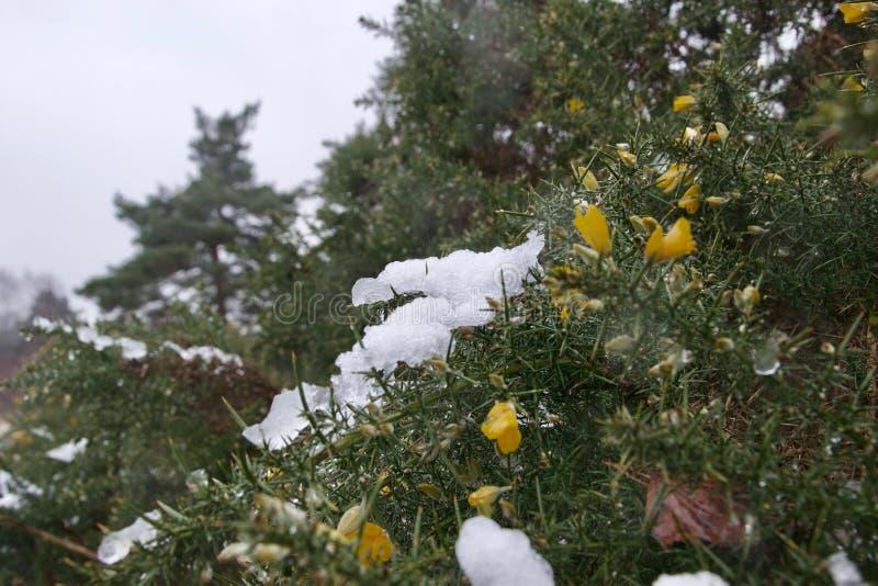 Remendos da neve gelada ao lado das flores amarelas em um arbusto do tojo imagens de stock royalty free