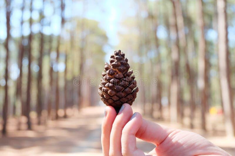 Remettez à des cônes de pin de crochet 1 morceau, caribaea des Caraïbes de pinus de pin de forêt de pin au centre de recherches f photos stock