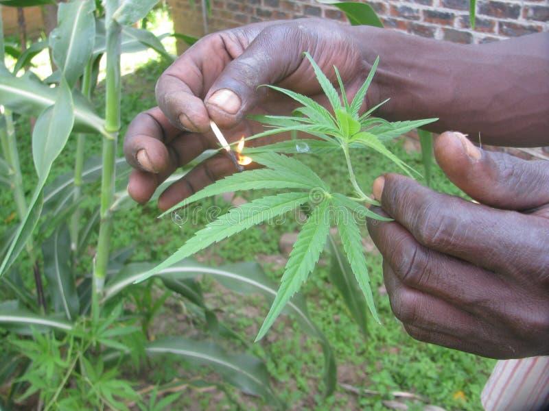 Remettez allumer une usine de marijuana verte avec le bâton de match photographie stock libre de droits