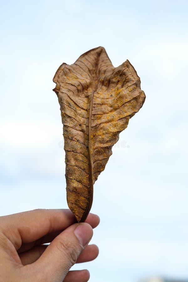 Remettez juger une feuille sèche d'automne disponible sur un fond blanc, Dr. images libres de droits