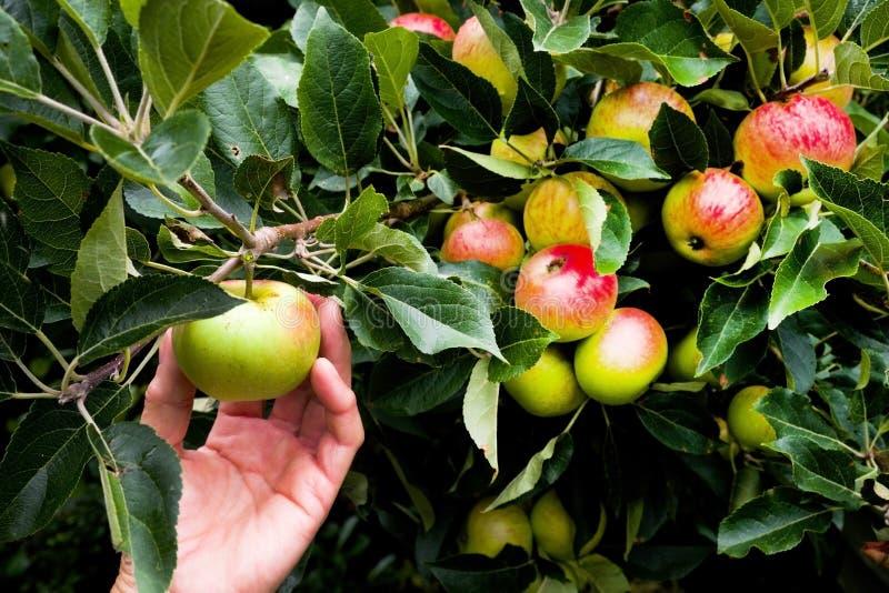Remettez la pomme de cueillette d'un pommier avec un bon nombre de pommes photographie stock