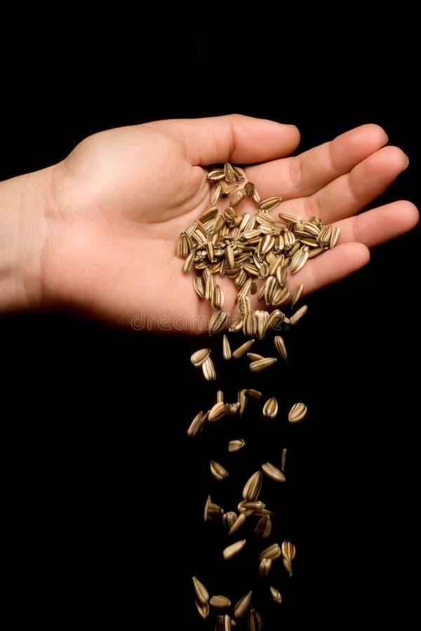 Remettez les graines de tournesol rayées de baisse photographie stock
