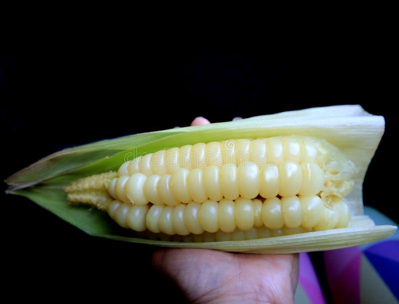Remettez tenir Choclo bouilli, le maïs péruvien de grand noyau ou le maïs de Cuzco, casse-croûte populaire dans la région de Cuzc image libre de droits