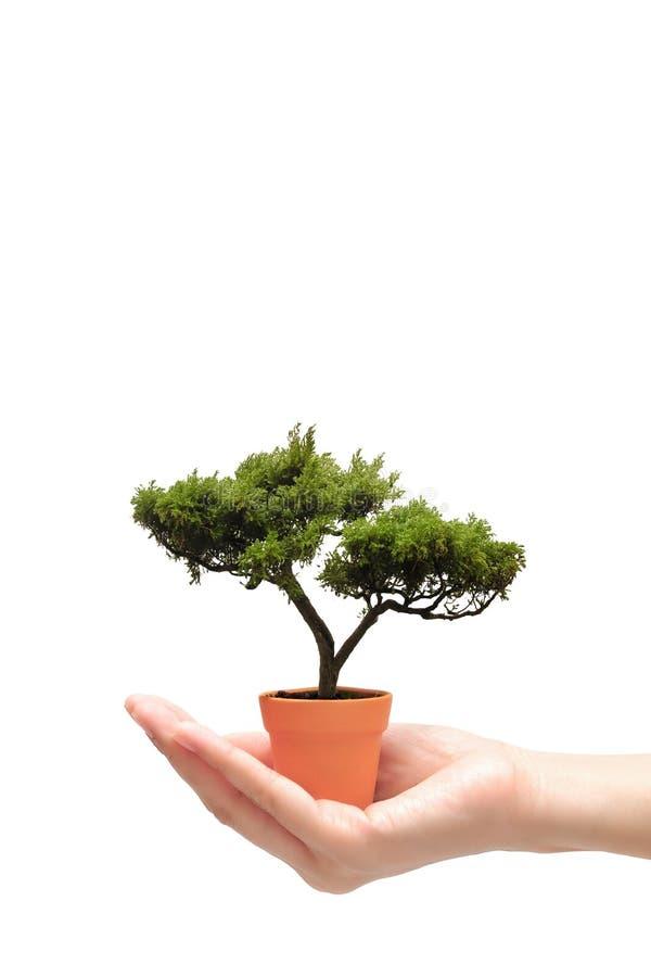 Remettez tenir l'arbre de bonsaïs dans le petit pot sur le fond blanc photo stock