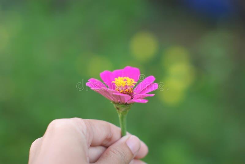 Remettez tenir la fleur rose de zinnia sur le fond vert image stock