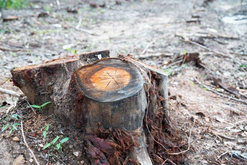 Remi i ceppi di albero secchi vecchio taglio causati tramite disboscamento, problemi ambientali immagini stock libere da diritti