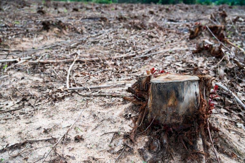 Remi i ceppi di albero secchi vecchio taglio causati tramite disboscamento, problemi ambientali immagine stock