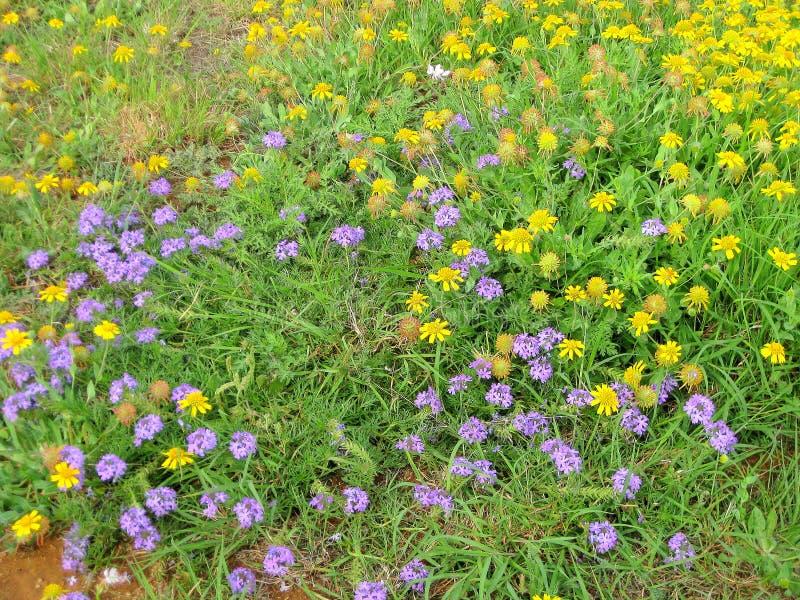 Remiendo de wildflowers Verbena púrpura de Prarrie, helenio amarillo y mariposa Gaura imágenes de archivo libres de regalías