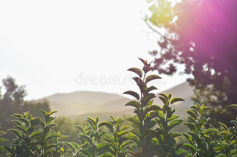 Orchard Tops In The Early Morning stock images
