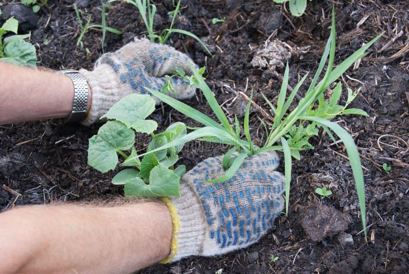 Remoção de ervas daninhas das ervas daninhas imagem de stock royalty free