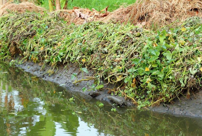 Remoção de ervas daninhas ou ervas daninhas fotografia de stock