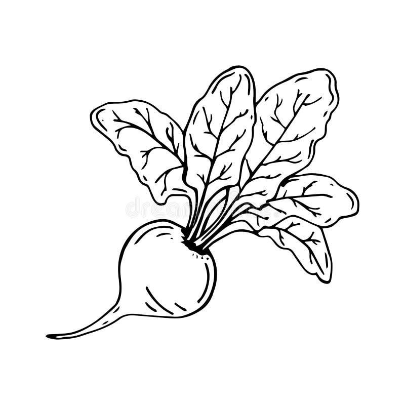 Remolachas, bosquejo de las remolachas enteras con los tops Ilustración del vector libre illustration