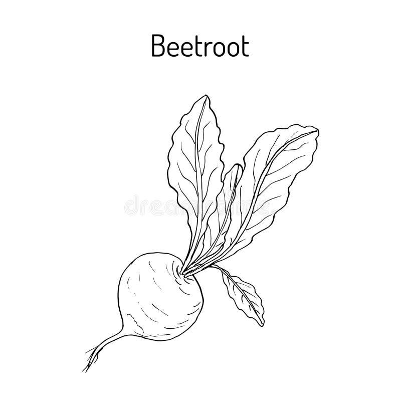 Remolachas con las hojas verdes stock de ilustración