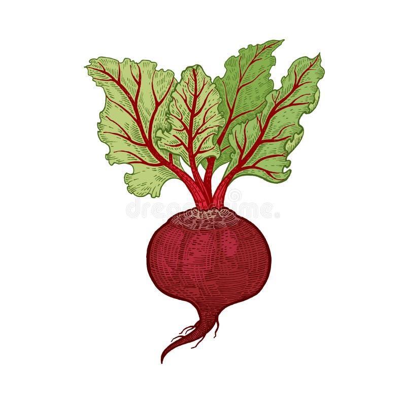 Remolachas de las verduras del dibujo de la mano stock de ilustración