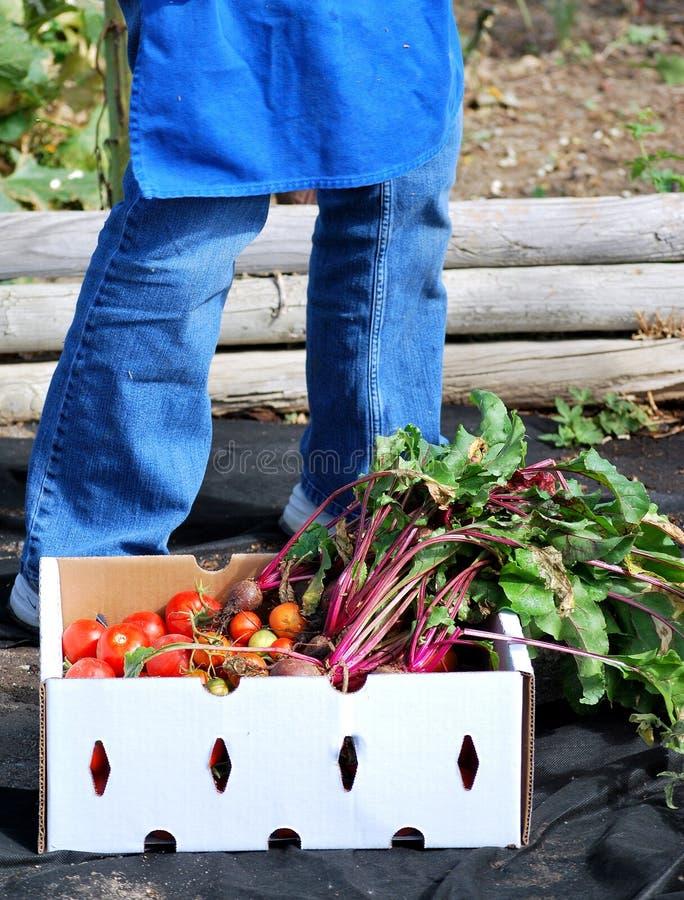 Remolachas y tomates orgánicos imagen de archivo libre de regalías