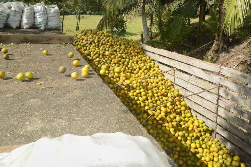 Remolque de la fruta cítrica en Belice que es cargada con las naranjas imagen de archivo libre de regalías