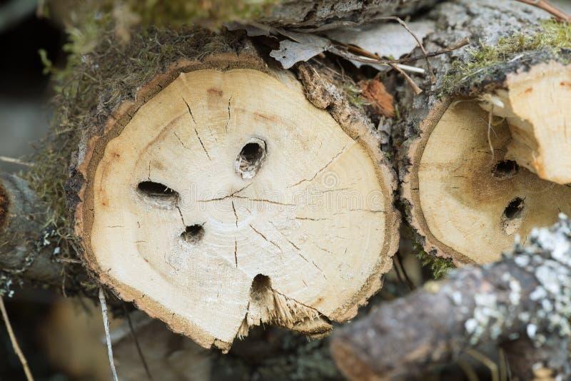 Remonte en árboles del álamo temblón después de la larva grande del perforador del álamo, carcharias de Saperda fotos de archivo libres de regalías