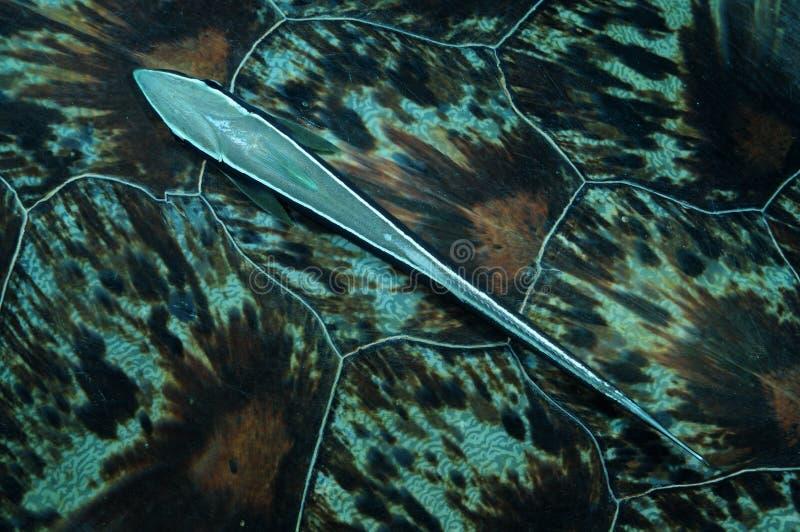 Remora- oder Saugerfische auf Suppenschildkröteschale stockfotos