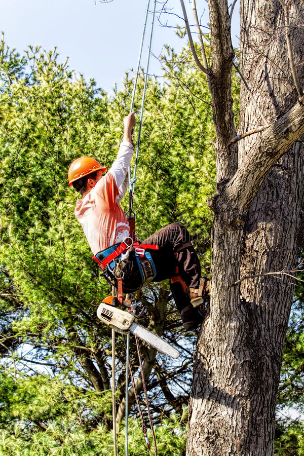 Removedor profissional da árvore que escala acima a árvore fotos de stock royalty free
