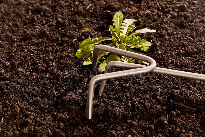 Removendo ervas daninhas para fora de ervas daninhas indesejáveis fotos de stock royalty free