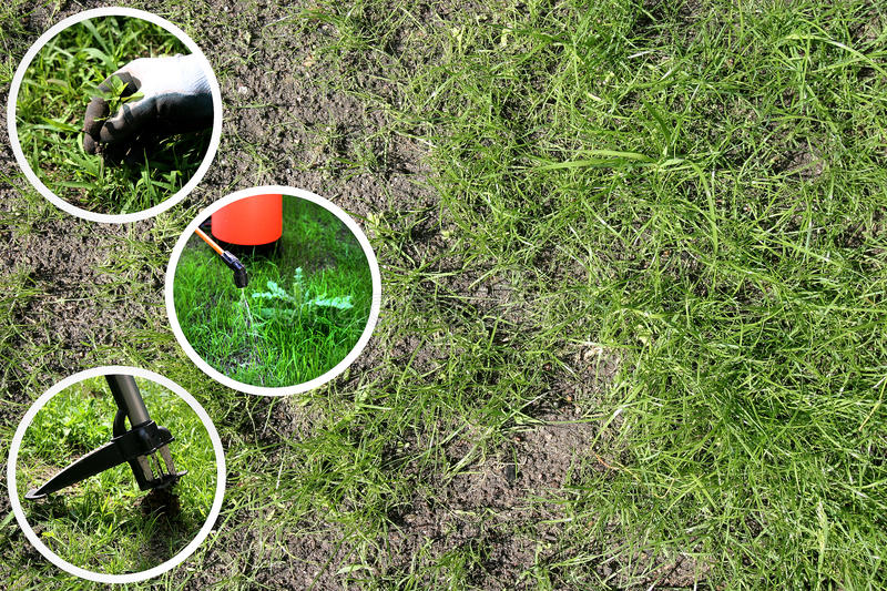 removing weeds from the lawn royalty free stock photos