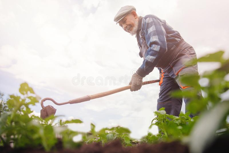 Removing weeds from soil of potatoes, Senior elderly man wielding hoe in vegetable garden stock image