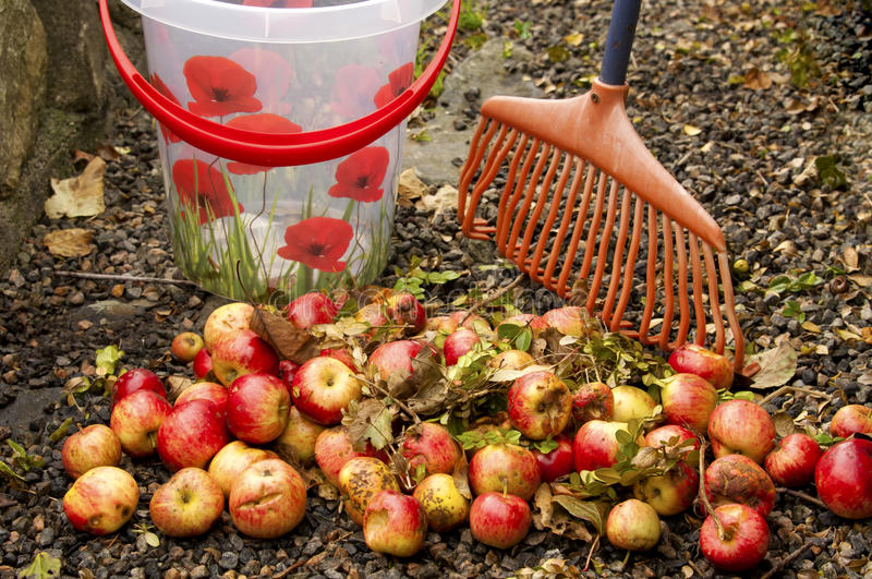 Removing windfall apples. With a pail and rake royalty free stock photography
